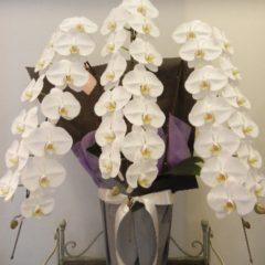 胡蝶蘭(コチョウラン) 白3本立ち