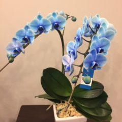 ミニファレ(胡蝶蘭) ブルーエレガンス
