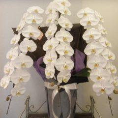 白胡蝶蘭3本立ち