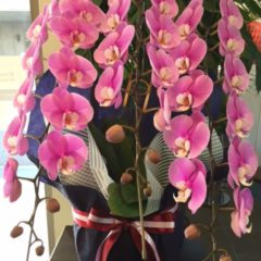 胡蝶蘭(コチョウラン) ピンク