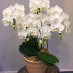 ミニ胡蝶蘭アマビリス ケセラ