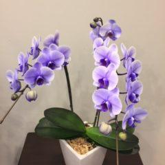 ミニファレ(胡蝶蘭)パープルエレガンス